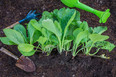 Fresh green vegetable leaves with gardening tool in home garden Royalty Free Stock Images