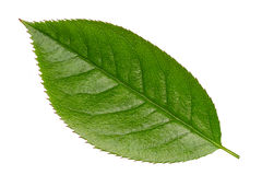 Fresh Green Vibrant Leaf Isolated Royalty Free Stock Photo