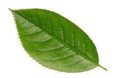Fresh Green Vibrant Leaf Isolated Royalty Free Stock Photo