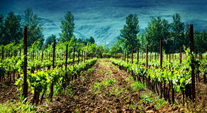Fresh green vineyard Royalty Free Stock Photography