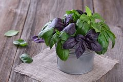 Fresh green and violet basil in little tin bucket Stock Photography