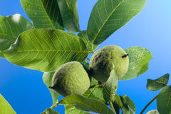 Fresh green walnut Royalty Free Stock Photography