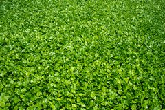 Fresh green water hyacinth , leafs, with sunlight for background stock photo