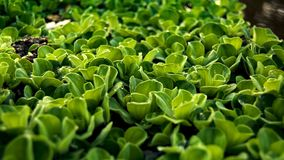 Water hyacinth in the morning royalty free stock photo