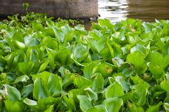 Green water hyacinth plant in nature garden. Fresh green water hyacinth plant in nature garden Stock Photo