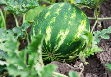 Fresh green Watermelon Royalty Free Stock Photography
