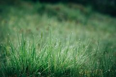 Fresh green wet grass with morning water drops in mountains, natural background. Close up with shallow focus.  stock image