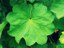 Fresh green wet leaf with small rain drops Royalty Free Stock Photos