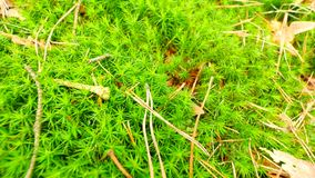 Fresh green wet moss on ground with  leaves fallen. Dry pine needles, twigs and dry leaves in green moss. Forest ground at beginni stock video
