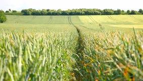 Fresh green wheat corn field in wind motion. Unripe wheat in wind stock video