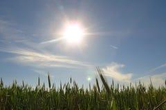 Fresh green wheat field against sun. Fresh green wheat in field against blue sky with sun royalty free stock images
