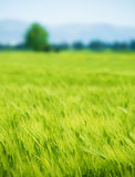 Fresh green wheat field Royalty Free Stock Photo