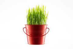 Fresh Green wheat grass in decorative pot isolated on white back Stock Photography