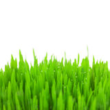 Fresh green wheat grass with drops and bokeh  / isolated Royalty Free Stock Photo