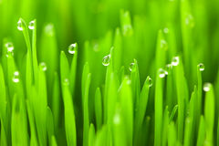 Fresh green wheat grass with drops dew stock image