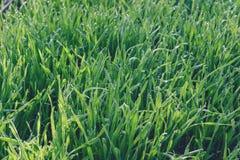 Fresh green wheat grass Royalty Free Stock Photography
