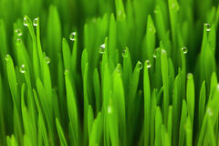 Fresh Green Wheat grass with Drops  / macro background Stock Photos