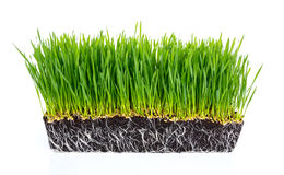 Fresh green wheat grass with roots isolated. On white background Royalty Free Stock Photo