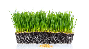 Fresh green wheat grass with roots isolated. On white background Stock Photos