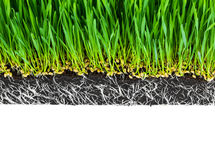Fresh green wheat grass with roots isolated. On white background Stock Image