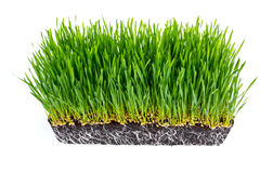 Fresh green wheat grass with roots isolated. On white background Stock Photo
