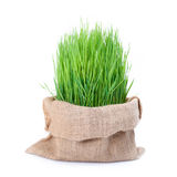 Fresh green wheat grass in sack bag Royalty Free Stock Image