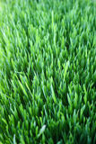 Fresh green wheat grass. Fresh Spring Green grass vertical eco macro background Stock Photo