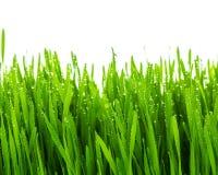 Fresh green wheat grass Stock Photography