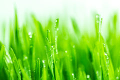 Fresh green wheat grass with water drops on white background Stock Photography