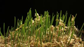 Fresh Green Wheat Growing. Timelapse with growing plant New Life. Fresh Green Wheat Growing. Timelapse stock video
