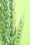 Fresh Green wheat Royalty Free Stock Photography