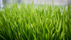 Fresh green wheat seedlings Stock Photo