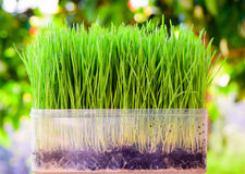Fresh green wheat seedlings on green nature background Stock Photography