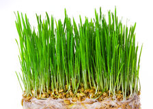 Fresh green wheat seedlings on white background Stock Images