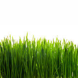 Fresh green wheat seedlings on white background Stock Photography