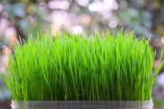 Fresh green wheat seedlings on white background Royalty Free Stock Image