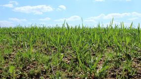 Fresh green wheat shoots on the field in the spring. The beginning of crops, the season of growing vegetables royalty free stock photos