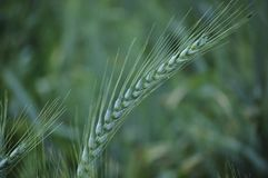 Fresh and green wheat spike royalty free stock photos