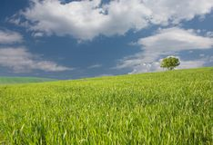 Fresh green wheat in spring Royalty Free Stock Photo