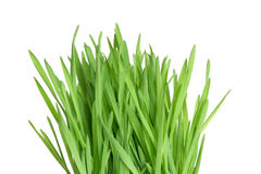 Fresh green wheatgrass Royalty Free Stock Photo
