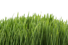 Fresh green wheatgrass isolated on white Stock Images