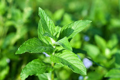 Fresh green wild mint Stock Image