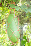 Fresh of green Winter melon on the tree Stock Photo