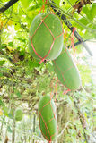 Fresh of green Winter melon on the tree Stock Images