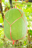 Fresh of green Winter melon on the tree Royalty Free Stock Photos