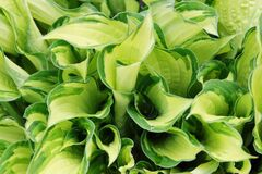 Fresh Green and Yellow Hosta Plant Leaves. Botanical Foliage Nature Background. Wallpaper Poster Template.
