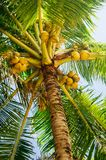 Fresh green young coconut fruit, on the coconut tree Stock Photo