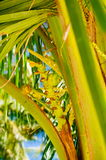 Fresh green young coconut fruit, on the coconut tree. flowering coconut tree. Stock Images