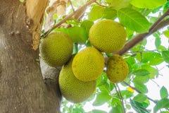 Free Fresh Green Young Jackfruits Artocarpus Heterophyllus Growing On The Jackfruit Tree. Stock Photo - 160378790