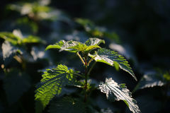 Fresh green young plant Royalty Free Stock Photography